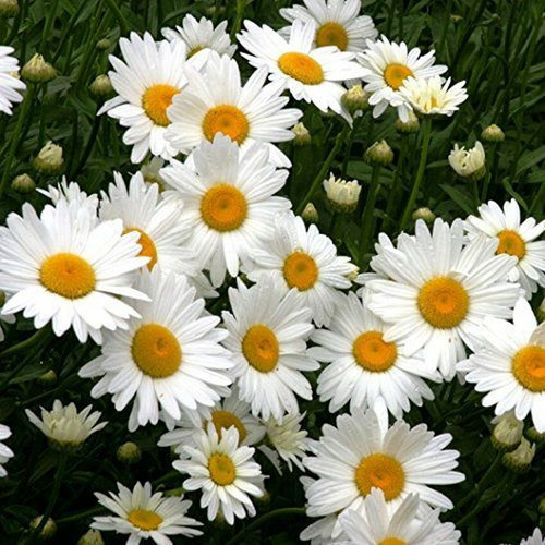 Daisy plant is hardy in zones 5 - 9 that loves the sun.