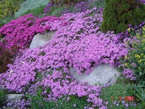 Creeping phlox is a familiar spring-blooming plant.