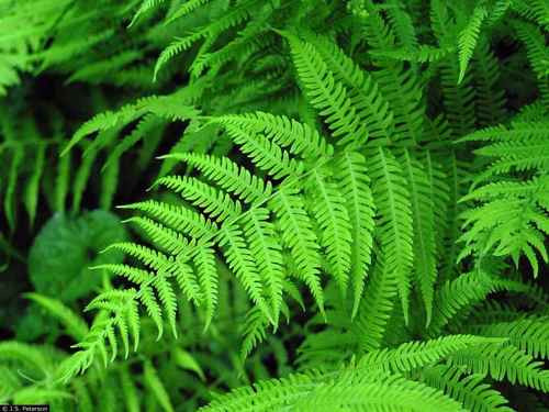 New york fern is for sale