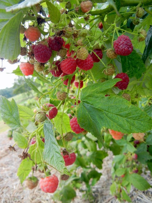 Red Raspberry fruit and leaf have also been used as medicine for centuries.