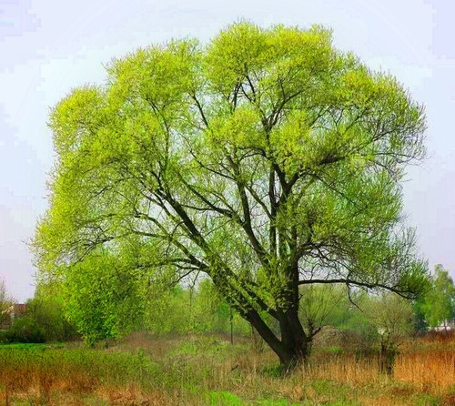 Black Willow Trees do well in Parks and Residential Areas for Shade Cover