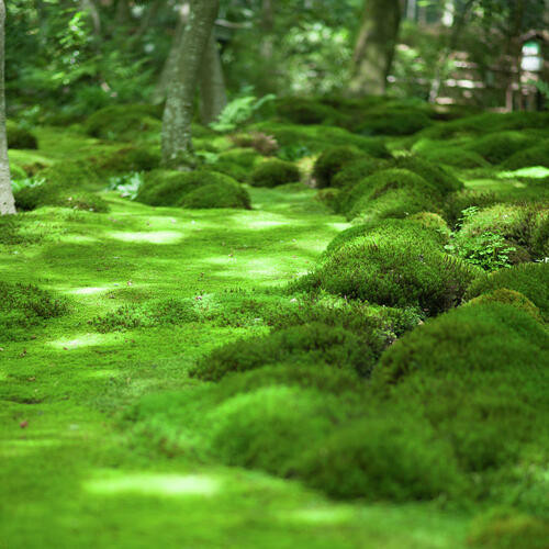 Carpet Moss is a lush, green, ground covering plant that resembles carpet.