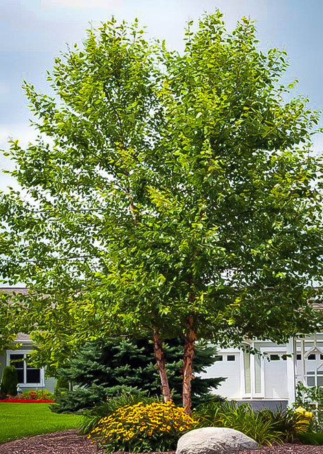 River Birch tree can be planted almost anywhere in the U.S.