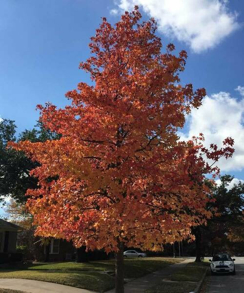 Sweet gum trees are for sale