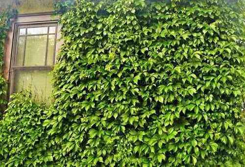 Virginia creeper is for sale