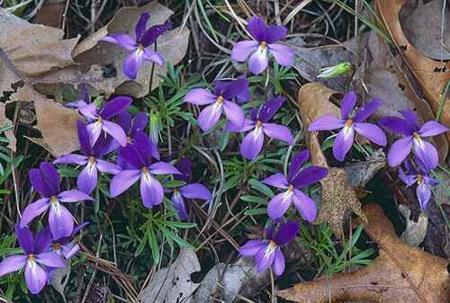 Bird-foot violet is a low, clumped perennial, 4-10 in. high, with large, almost pansy-sized flowers.