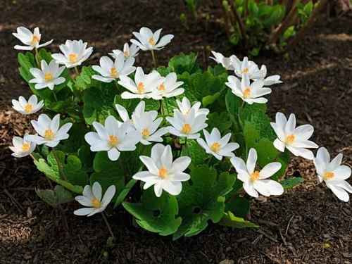 Blood Root Spreads Quickly Making it Ideal for Ground Coverage