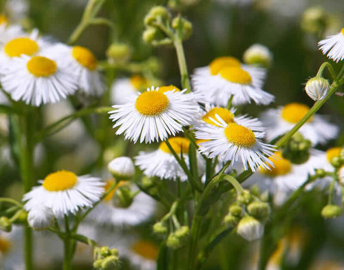 Fleabane Daisy is a native erect annual, growing from 2 to 4 feet high.