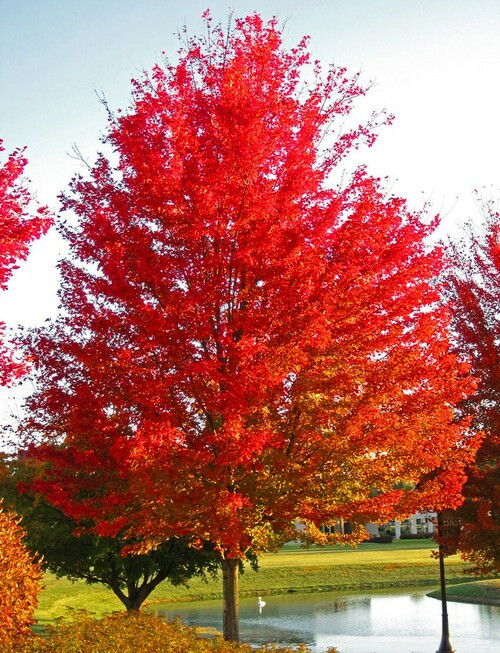 Maple Trees have vibrant hues of fiery red, electric orange, and calming yellow.