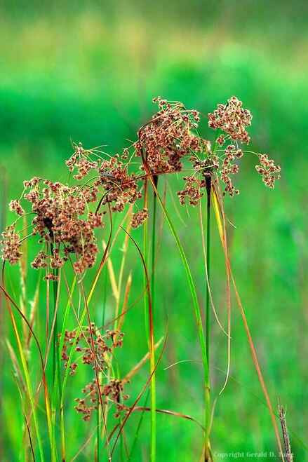 Wool Grass is an important wetland species, providing food and cover for waterfowl and other marsh dwelling creatures.