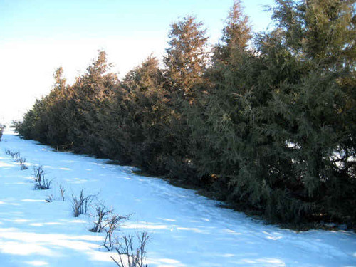 The eastern redcedar grows to a height of 40–50' and a spread of 8–20' at maturity.
