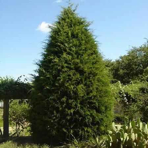 Eastern Red Cedar grows to a height of about 30 to 35 feet and the branches may spread 12 to 15 feet.