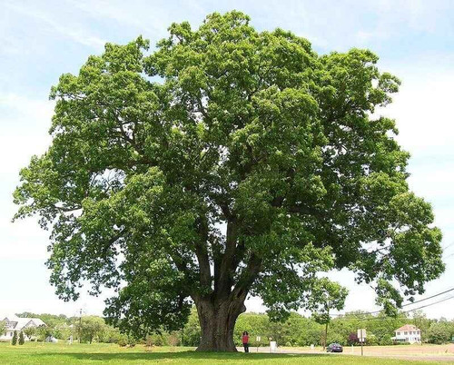 Black Willow Oak Tree Seedlings will need soils that are well drained and acidic in content.