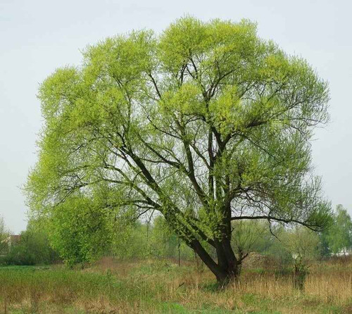 Black Willow Seedlings  grows from 30 to 100 feet in height.