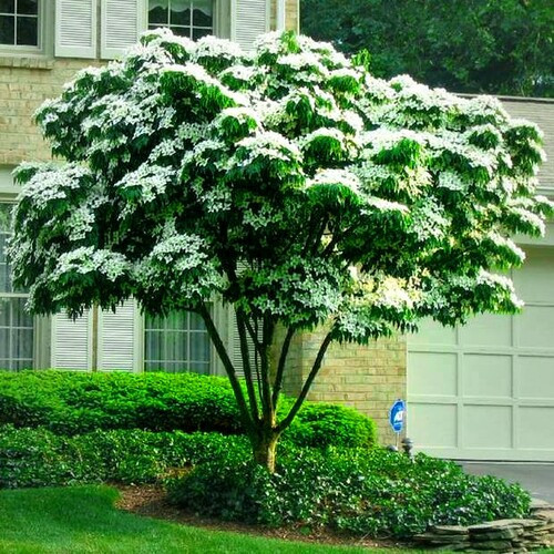 Kousa Dogwood Seedlings are Best for Planting near Buildings, Walls, and Utility Lines as a Shrub-type Border