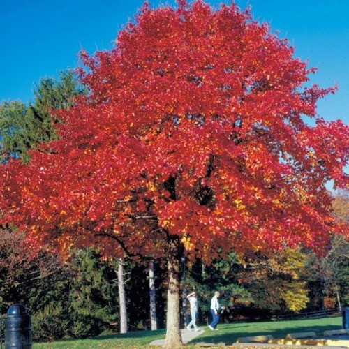 Red Oak Tree Seedlings at maturity can reach 60-75 feet tall and 45 feet wide.