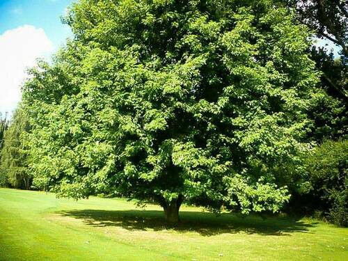 Silver Maple Seedlings can reach maturity 60-80 feet tall and 40-60 feet wide.