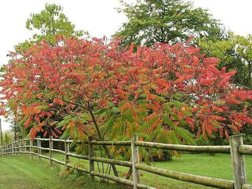 The Smooth Sumac seedlings is a shrub/tree that grows the most in the summer and spring months.
