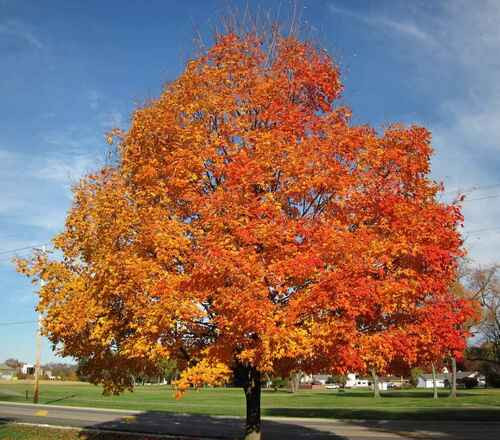 Sugar maple seedlings are one of America's most-loved trees.