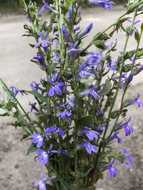 Blue Lobelia is a herbaceous perennial that may grow 3 to 4 feet tall.