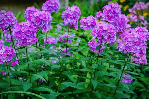 Tall Phlox can grow to a height of 24 to 36 inches (the more shade it gets, the shorter it will stay), with a spread of about 20 inches.