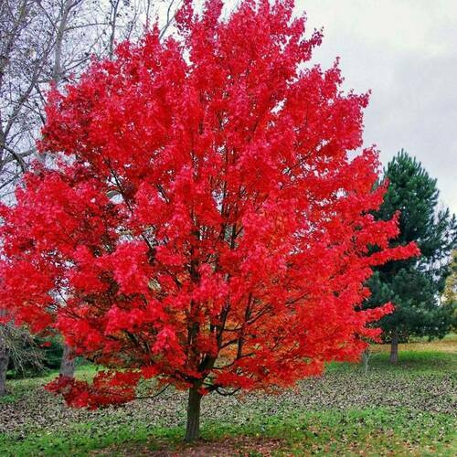 Sourwood Tree  offers some of the best fall color among trees in the South.