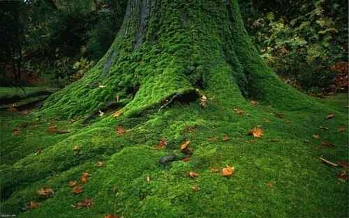 Tree Moss is the most common hanging moss used for ornamentation and horticulture.