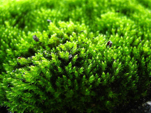 Gardeners use peat moss mainly as a soil amendment or ingredient in potting soil.