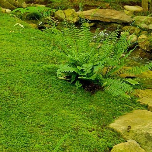 Ground Fern Moss is a Prehistoric-like Plant that Can Survive in Many Places Where Other Plants can't.