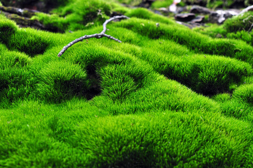 Mood moss grows in a very compact clump yet has very feathery plumes on top.