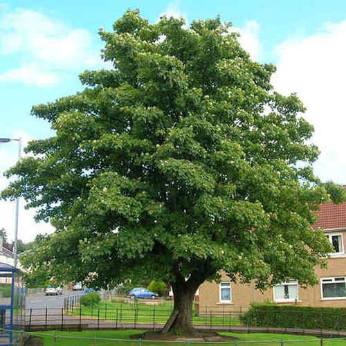 Sycamore Trees  grows 70 to 100 feet tall, 65 to 80 feet wide.