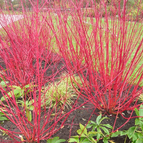 Red Twig Dogwood as a privacy screen or even as a foundation hedge.