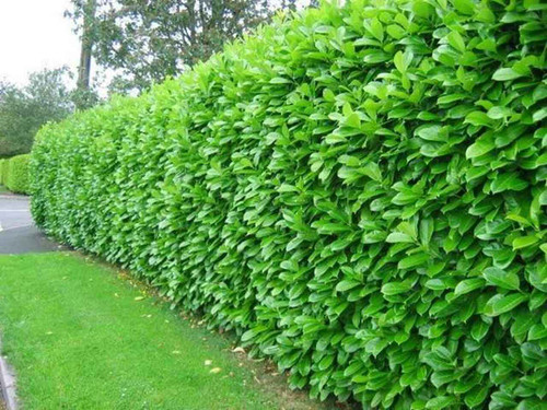 Privet is a robust, hardy hedging plant that grows virtually anywhere.