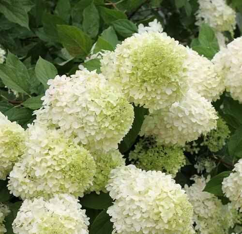 Wild Hydrangea Arborescens flowers start with a greenish hue and then mature to beautiful white rounded bunches of tiny, four-petal blooms that sit on top of tall, silvery brown cane stems. Underneath the white mounds lie medium-sized dark green leaves, oval-shaped with serrated edged.