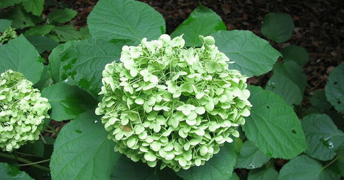 Wild hydrangea is a hardy, adaptable shrub grown for its large, cloud-like clusters of early summer flowers.