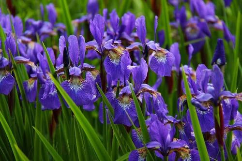 Bearded iris grows from a thick, rootlike structure called a rhizome.