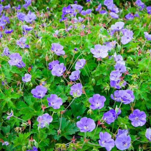 Geraniums are easy-care abundant bloomers whose bright flowers will blossom from spring until fall.