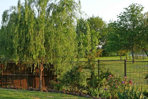 Silky Willow Live Stakes is a medium size fast growing tree that thrives in moist soils to maintain healthy growth.