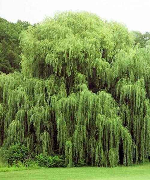 Weeping willow live stakes for sale