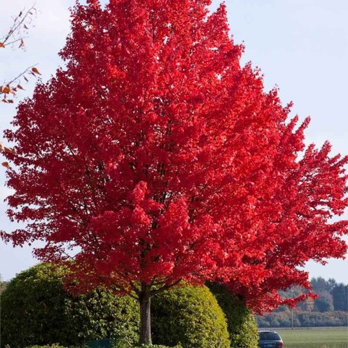 Given sufficient sun, water and elbow room, this ornamental tree spreads to 50 feet wide