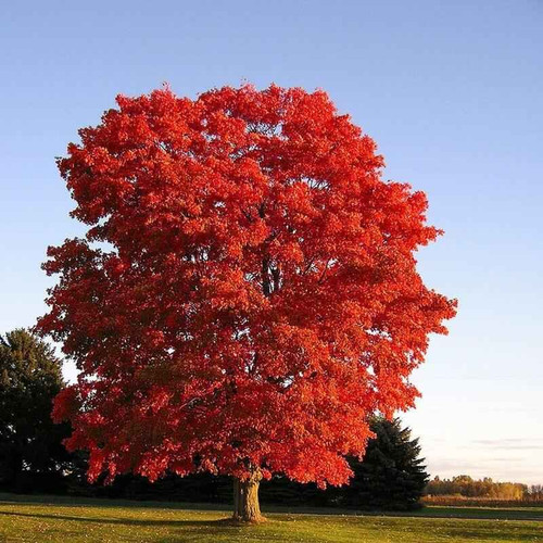 Autumn Red maple may grow to 70 feet tall, although it can achieve 120 feet in the wild.