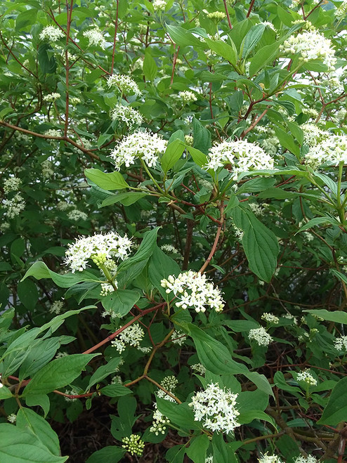 Red Osier Dogwood will have a  mature height of 7-9 feet.