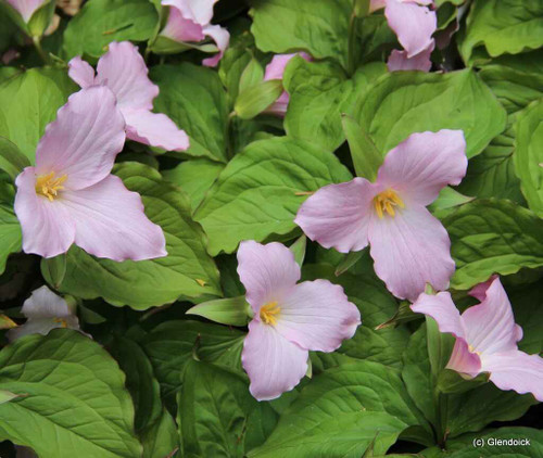 Trillium is a light pink, a three-petaled flower with bright green leaves.