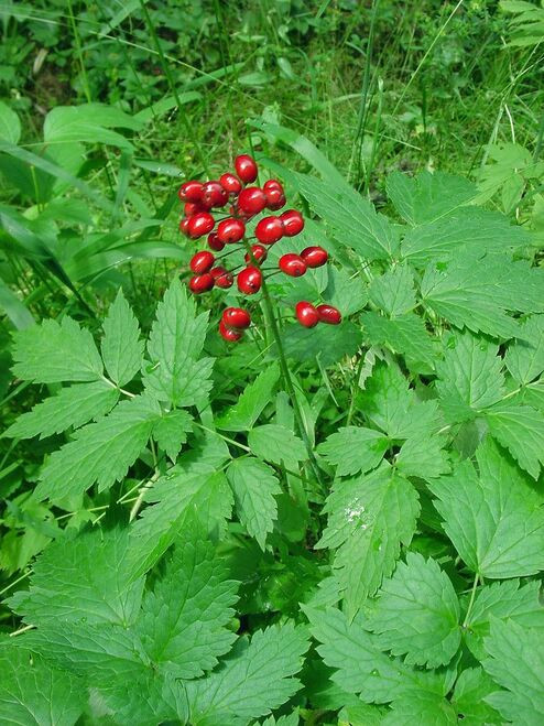 Baneberry Plant  flowers  are white, and when the berries form, they are a lovely raspberry color that is sometimes used to make dye, found in wooded areas.