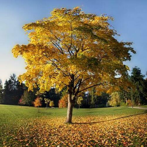 Tulip Tree has reference to tulips from the shape of the greenish yellow and orange flowers.