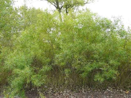 Sandbar Willow Live Stakes is a Moderately Fast-Growing, Moisture Loving Plant.