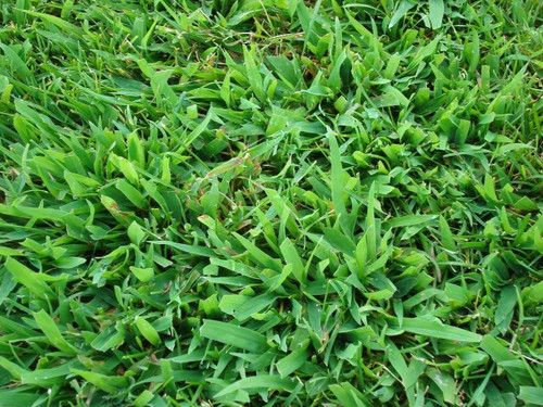 Crabgrass plant produces up to 150,000 seeds.