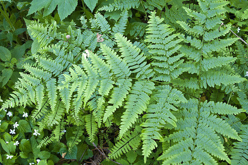 Bracken Fern  is a coarse, deciduous fern with large, triangular fronds, growing about waist high.