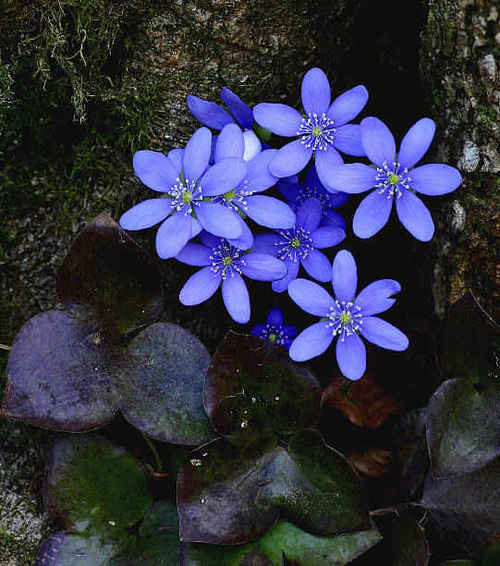 Hepatica is a genus in the buttercup family, native to the Northern Hemisphere.