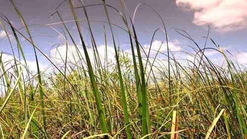 Sawgrass is a tall plant that if examined closely will reveal tiny ridges, or teeth, along the length of its sides.